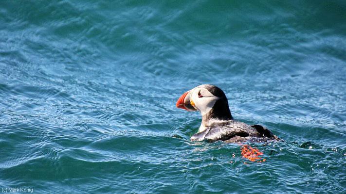 Ein Papageientaucher schwimmt im Meer nahe Bleik am nördlichen Ende der Vesterålen