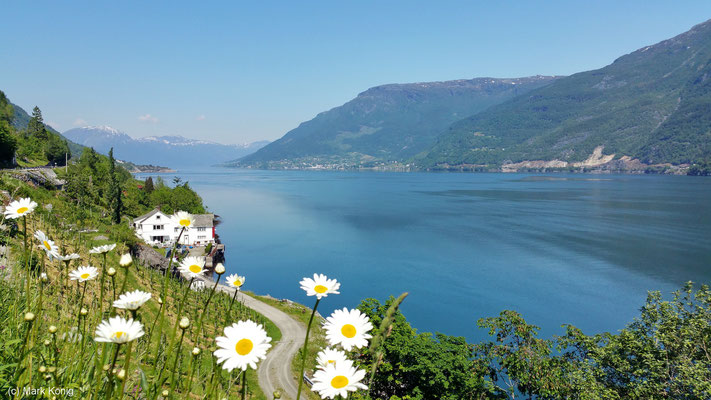 Blick auf den blauen Sørfjord mit Blumen im Vordergrund - nachmittags ist die West-Seite des Fjords (Straße 550) die bessere Entscheidung für Fotos