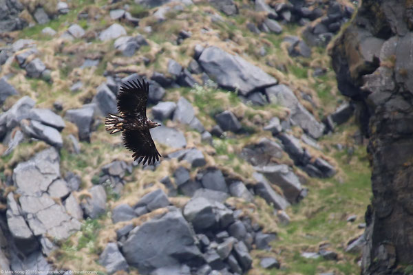 A sea eagle flies around the cliffs of Runde