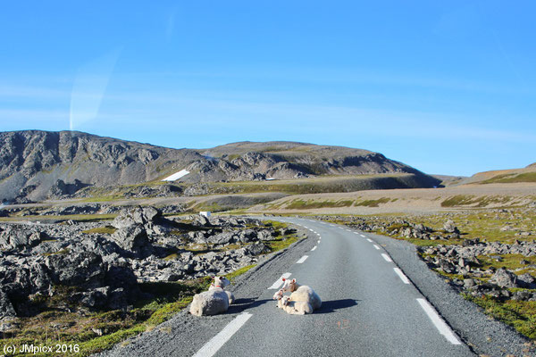 Schafe liegen in der Sonne auf der einspurigen Straße in Nord-Norwegen