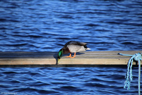 Curious duck at one of the harbours at Kristiansand looking down from a wooden gangplank