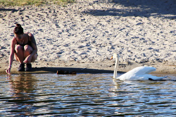 A swan in defense mode getting close to a lady kneeing at a small beach