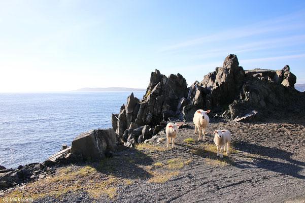 Schafe an der Küste in Nord-Norwegen