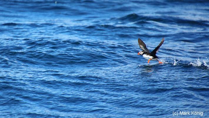 Papageientaucher startet aus dem Polarmeer nahe Bleik