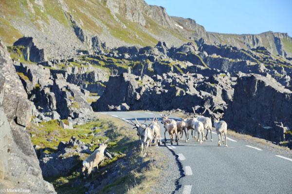 Rentiere laufen auf einer engen Straße der Varanger-Halbinsel