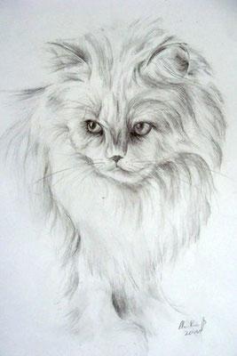 Katzenportrait, Perserkatze  mit Bleistift gezeichnet