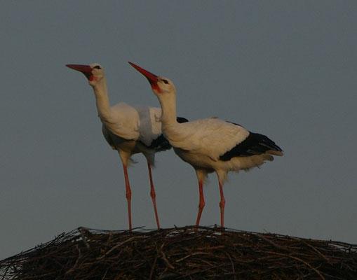 Am 09.02. kam die Störchin von Nest 1. Ab und zu ist das Männchen vom Birkennest und die Dame von Nest 1 zusammen, aber wirkliche Harmonie besteht nicht!