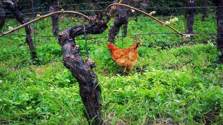 Hühner im Weinberg
