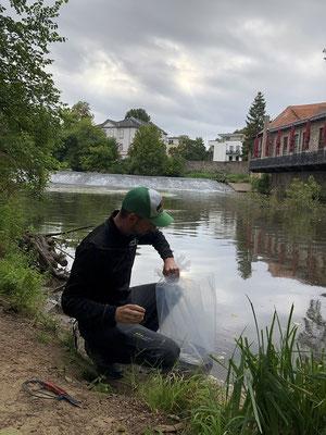 Interessengemeinschaft der Kinzigpächter e.V. // Aalbesatz 2021