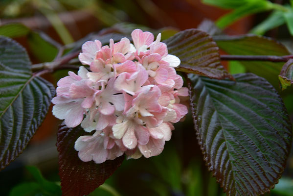 赤花オオデマリ