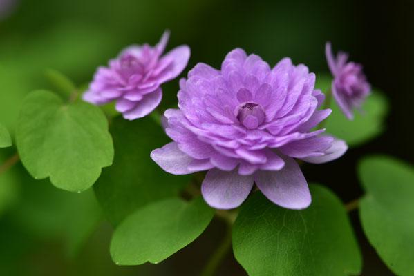 八重咲梅花カラマツ
