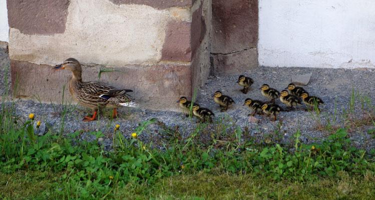 Hoher Besuch von April-Juni 2016: Mutter Ente und ihre Kinder. Foto: Jennifer Peppler