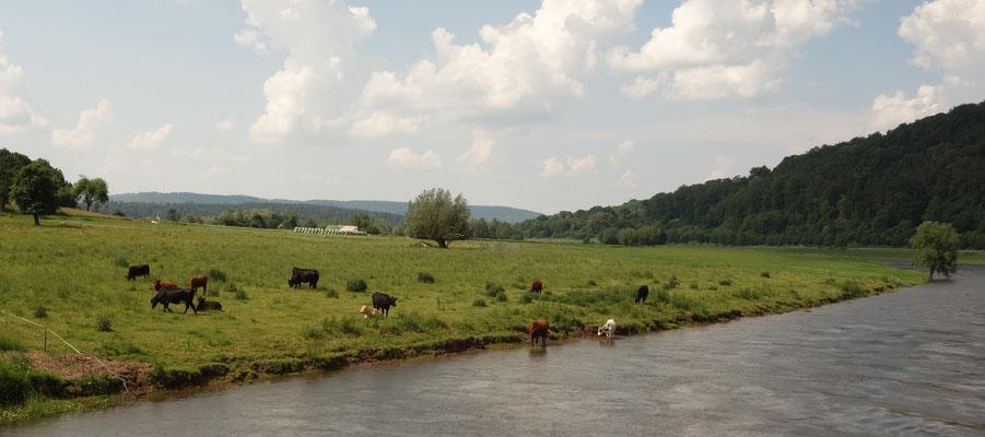 """Die Kühe weiden an der Weser. Dieses Bild erinnert an Ägypten als """"ein Geschenk des Nils"""" (Herodot). Foto: Daniela Rutica"""