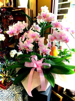 胡蝶蘭ハルガスミ希少20,000~円(税別) 中輪で品の良いチャーミングな胡蝶蘭です。次々と花が咲きますので長く長く観賞していただけます。希少品種のため入荷にお時間いただきます。