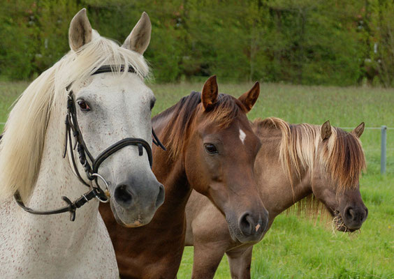Unsere Ponys: Nico, Nugget und Paul