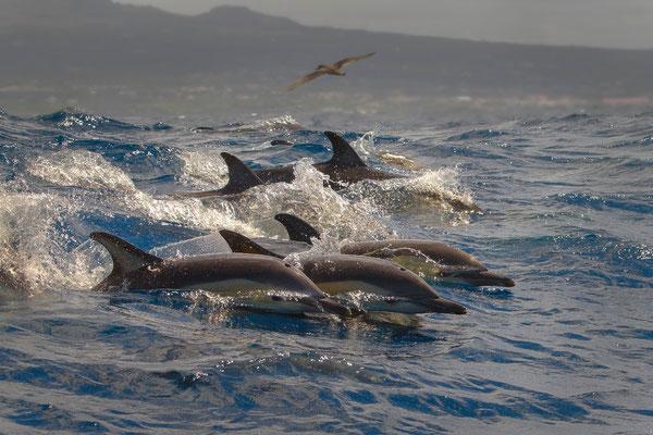 Gemeiner Delfin (Delphinus delphis)