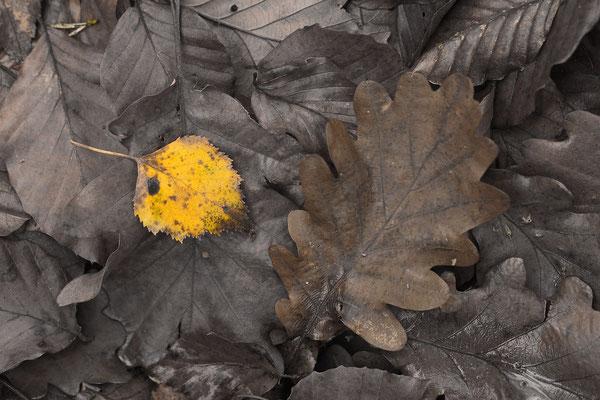 Herbstlaub: Birke und andere