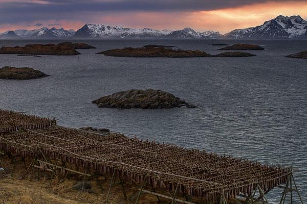 Bei Henningsvær: Stockfisch