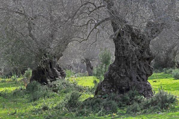 Alte Olivenbäume, Serra de Tramuntana, Mallorca