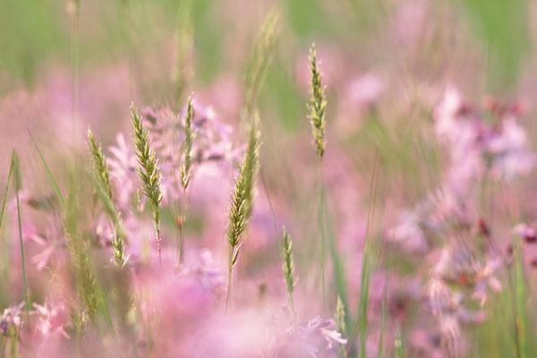 Kuckucks-Lichtnelke (Lychnis flos-cuculi)