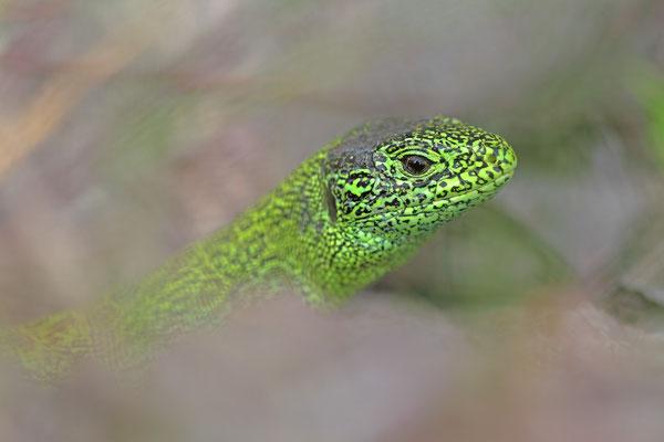 Männliche Zauneidechse (Lacerta agilis)