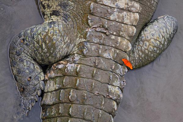 Spitzkrokodil (Crocodylus acutus)