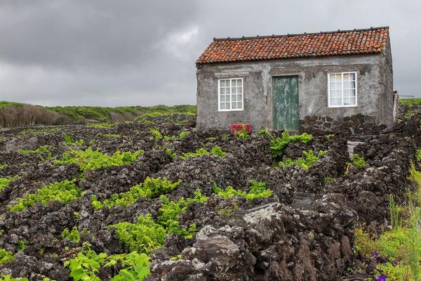 Weinanbau auf Pico - Weltkulturerbe