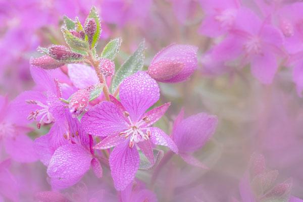 Arktisches Weidenröschen (Epilobium latifolium)