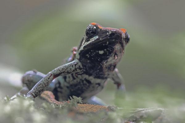 Gestreifter Blattsteigerfrosch (Phyllobates vittatus)