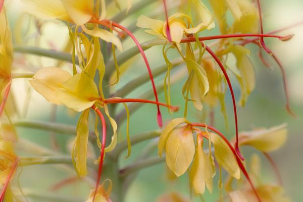 Ingwerlilie (Hedychium gardnerianum)