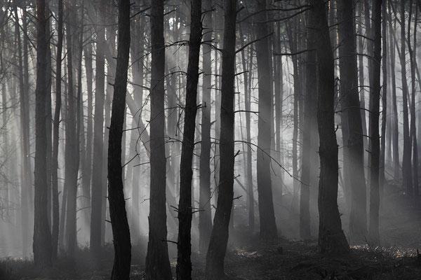 Pfälzer Wald: Kiefern am Haardtrand