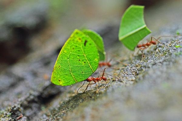 Blattschneiderameisen (Atta cephalotes)