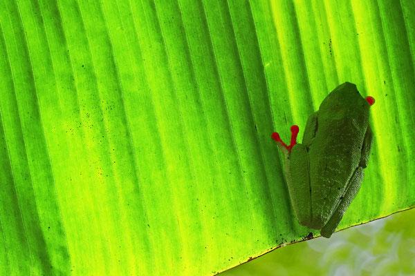 Rotaugenlaubfrosch: Schlafposition unter einem Palmenblatt