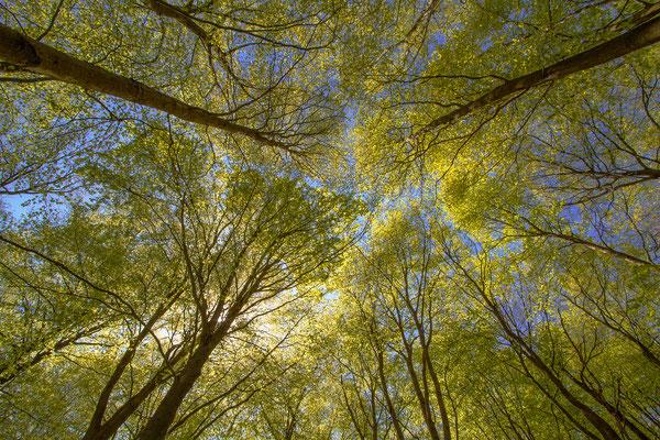 Die Säulen des Waldes