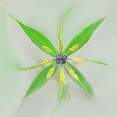Vierblättrige Einbeere (Paris quadrifolia)