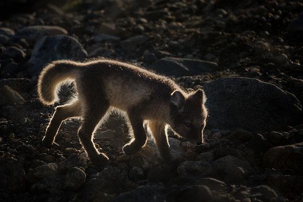 Polarfuchs  (Vulpes lagopus)