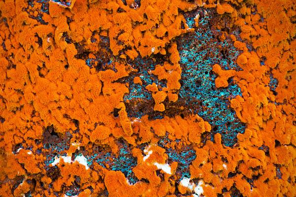Orangerote Luftalge (Trentepohlia aurea)