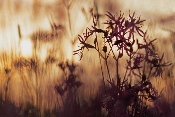 Kuckucks-Lichtnelke (Lychnis flos-cuculi) im letzten Licht
