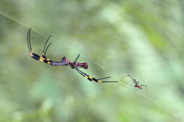 Golden Orb Spider (Nephila clavata), weibliches und männliches Tier