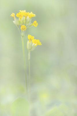 Wiesen-Schlüsselblume 1 (Primula veris)