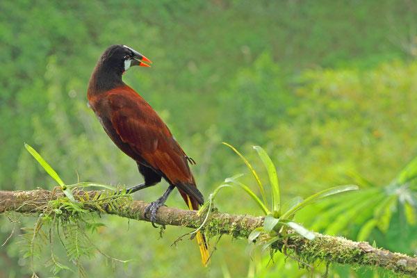 Montezumastirnvogel (Gymnostinops montezuma