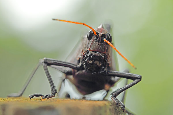 Giant red-winged grasshopper (Tropidacris cristata)