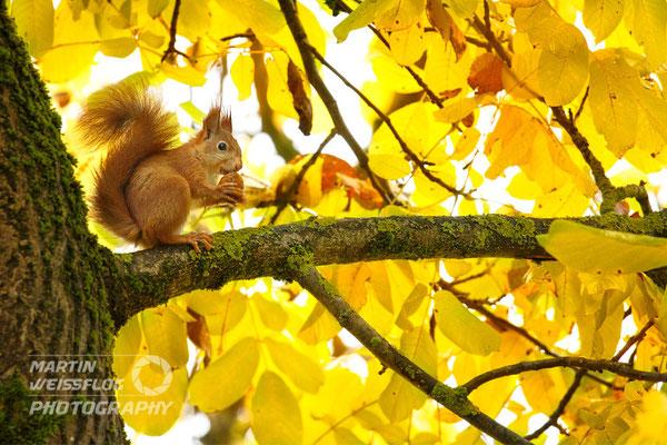 Eichhörnchen - Deutschland