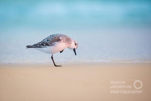 Strandläufer - Florida USA