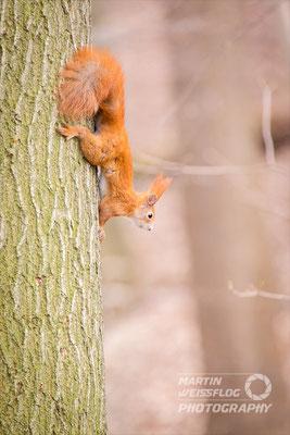 Eichhörnchen - bei Chemnitz Deutschland