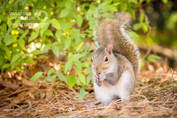 Westliches Grauhörnchen - Georgia USA