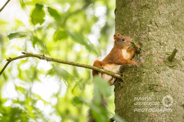 Eichhörnchen - Erzgebirge Deutschland