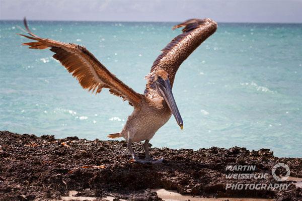 Pelikan - Kuba