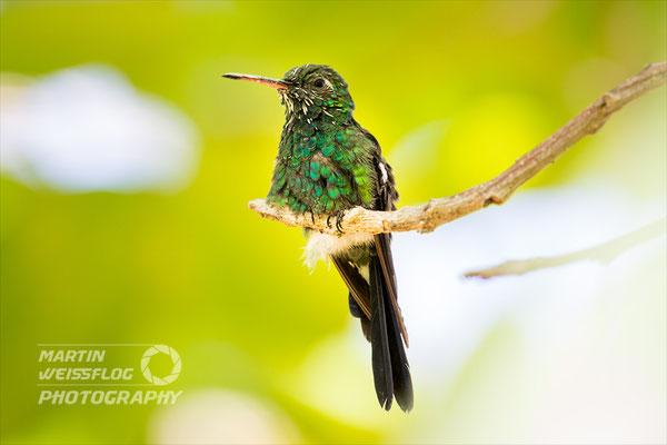Kolibri - Kuba