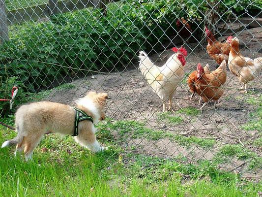 Hühner hüten :)